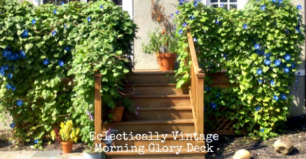 Morning Glories - see how to go from 3 inch plants to a covered deck in a couple of short months!  kellyelko.com