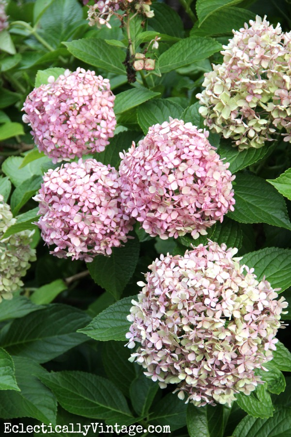 Hydrangeas - see how to dry them for lasting blooms all year long!  eclecticallyvintage.com