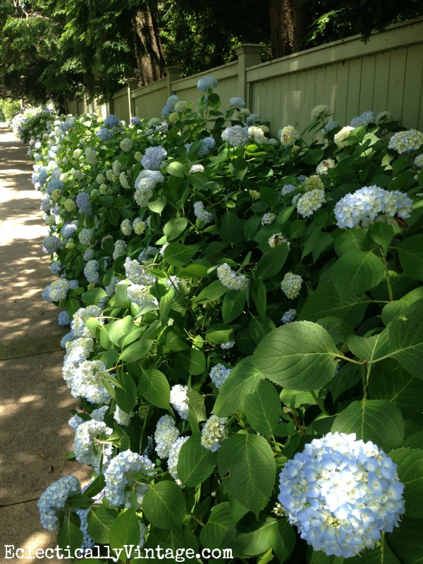 Row of hydrangea bushes - this is fabulous (and tips for drying them)  eclecticallyvintage.com