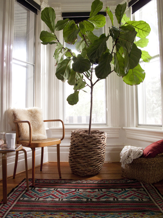 Fabulous Fiddle Leaf Fig kellyelko.com