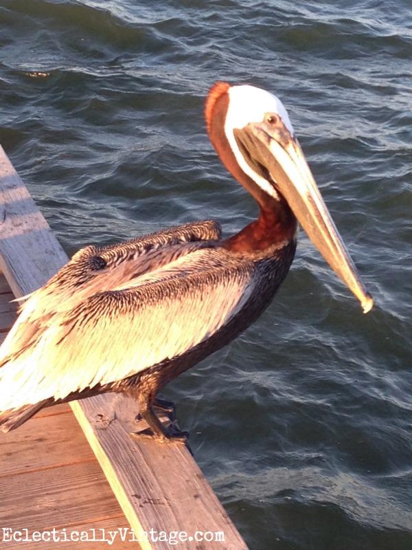 pelican kellyelko.com