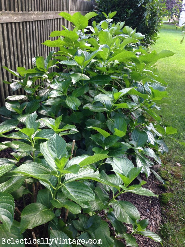 Learn the best times to prune hydrangeas or risk getting no blooms kellyelko.com