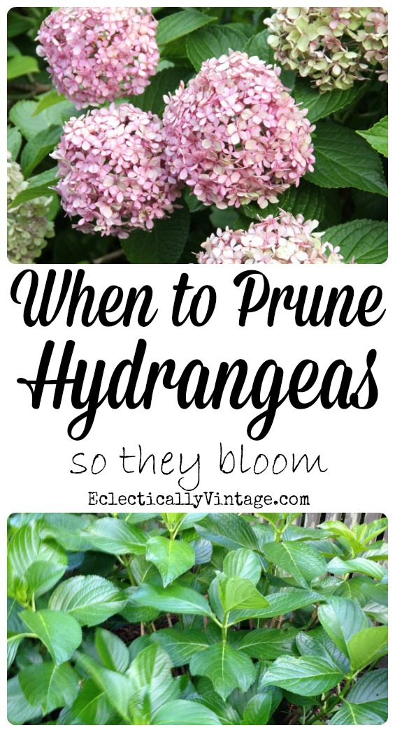 When To Prune Hydrangeas So They Bloom Kellyelko