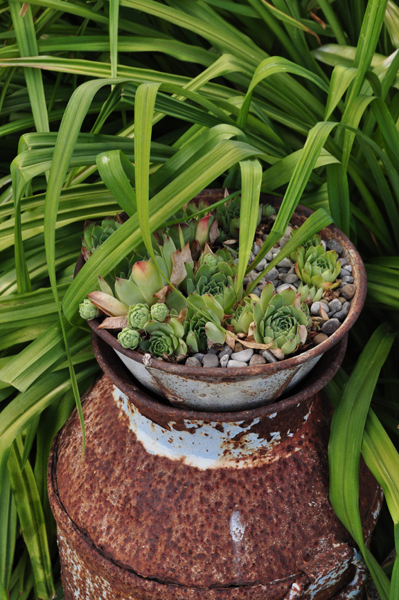Succulents on a rusty old milk can - great ideas in this garden kellyelko.com