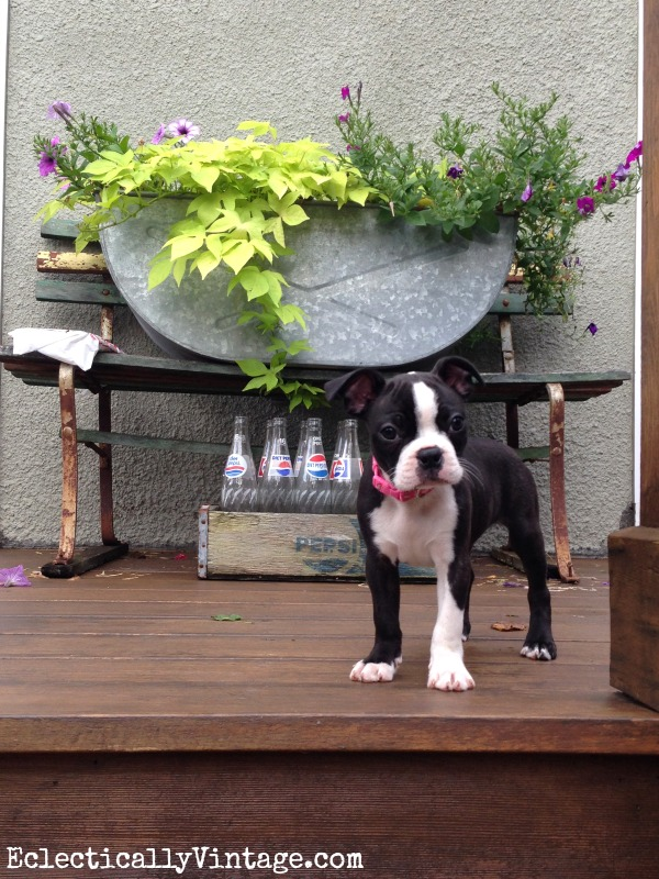 Boston Terrier Puppy kellyelko.com