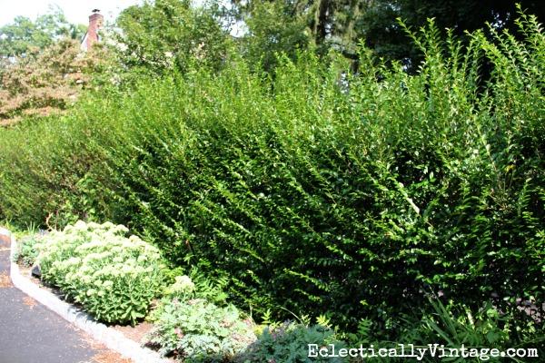 Privet hedge before trimming kellyelko.com