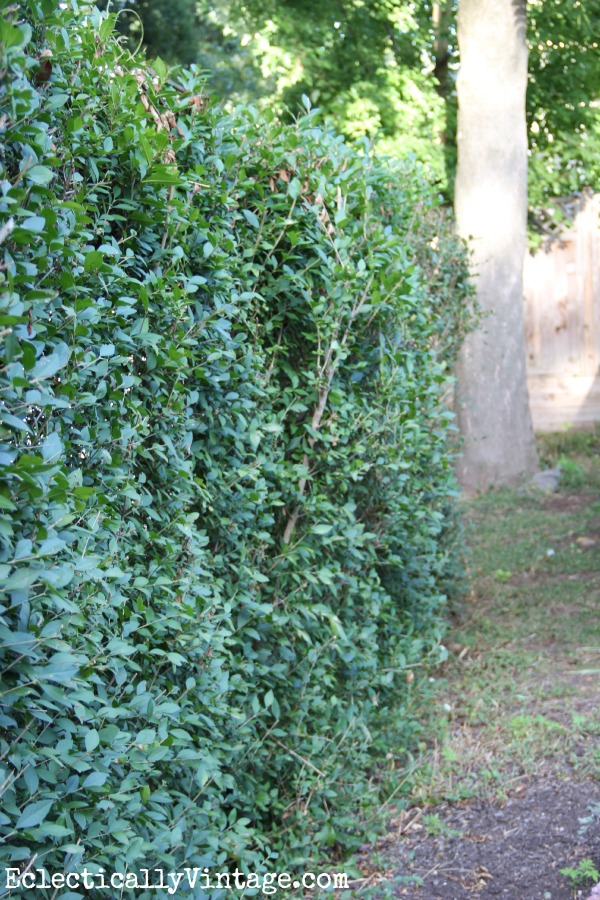 Trim privet to keep it full and lush kellyelko.com