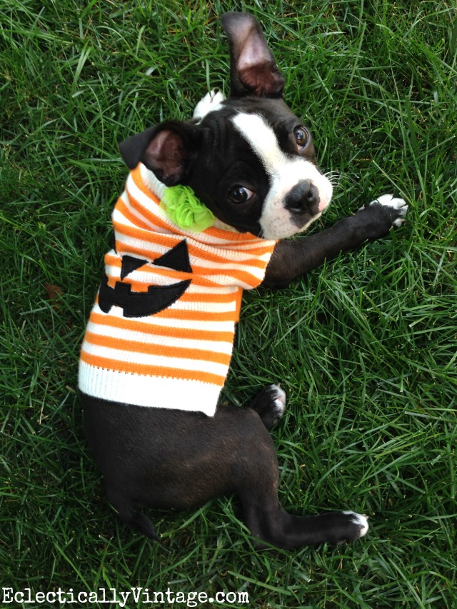What a cute little dog pumpkin sweater for Halloween! kellyelko.com