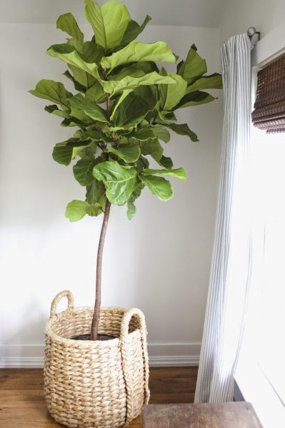 This fiddle leaf fig is gorgeous! kellyelko.com