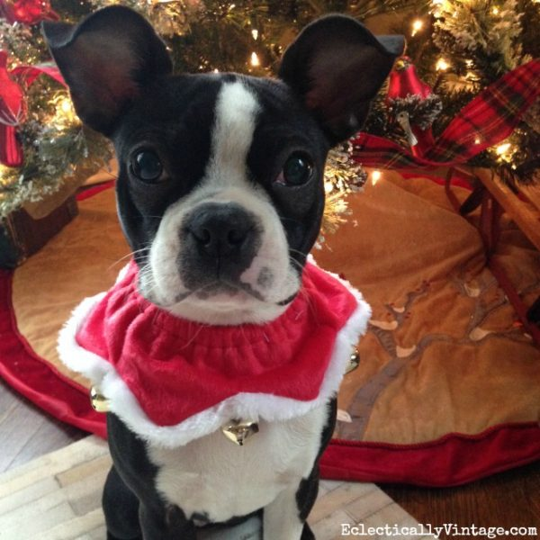 Boston Terrier puppy eclecticallyvintage.com