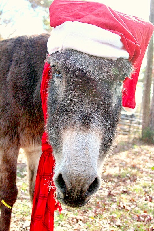 Oreo the Christmas donkey! kellyelko.com