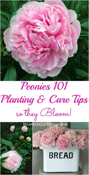 Peony Planting Tips eclecticallyvintage.com