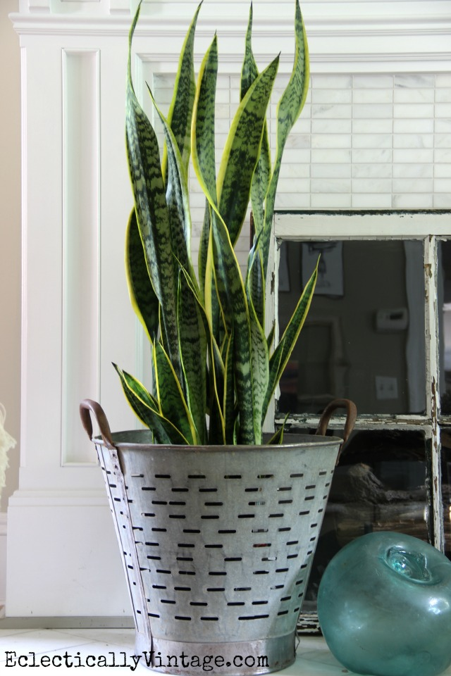 Love this olive bucket planter and the snake plant kellyelko.com