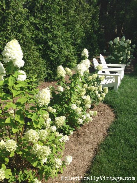 How to Grow Limelight Hydrangeas eclecticallyvintage.com