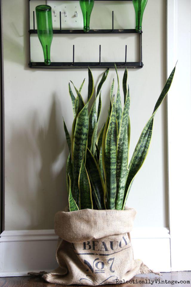 Snake plant in a burlap sack kellyelko.com
