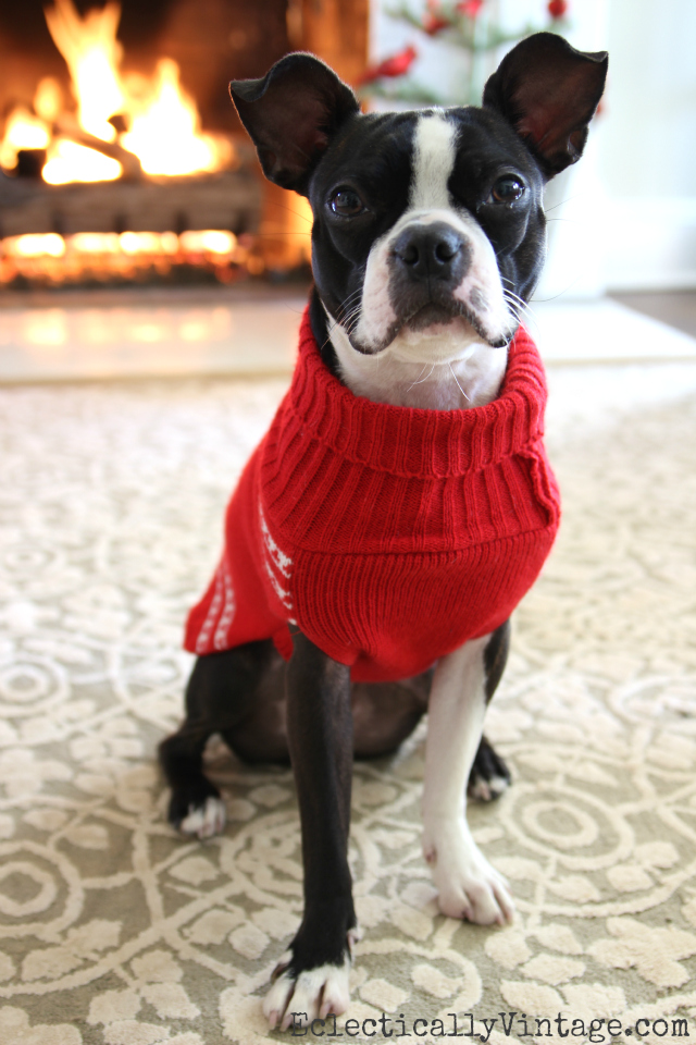 Sushi the Boston Terrier in her Christmas sweater kellyelko.com