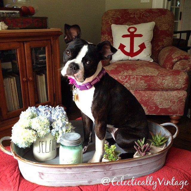 Boston Terrier in a tray! kellyelko.com