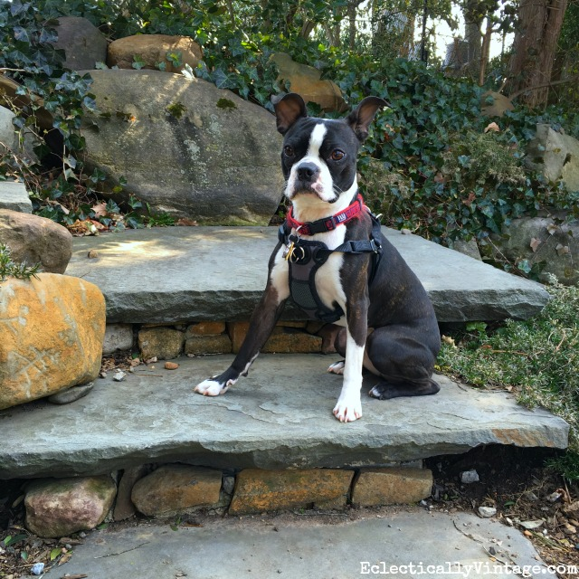 Sushi the Boston Terrier posing for the paparazzi kellyelko.com