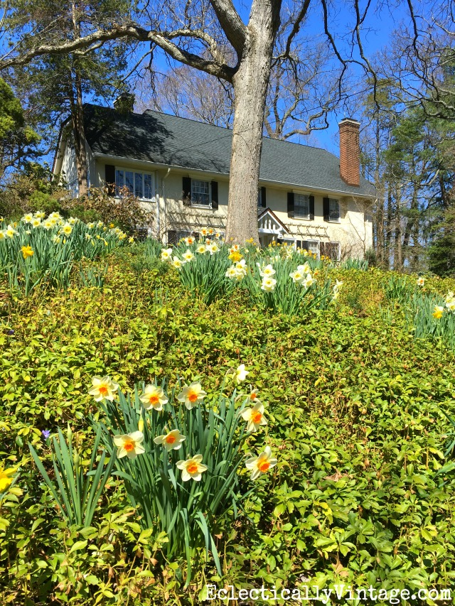 Curb Appeal - a planting of spring daffodils on this front lawn welcomes spring kellyelko.com