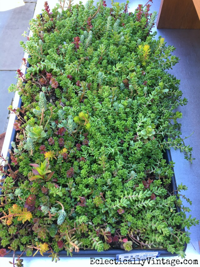 Sedum Ground Cover Mat Brilliant Idea See How To Grow Succulents Quick And Easy Kellyelko Com