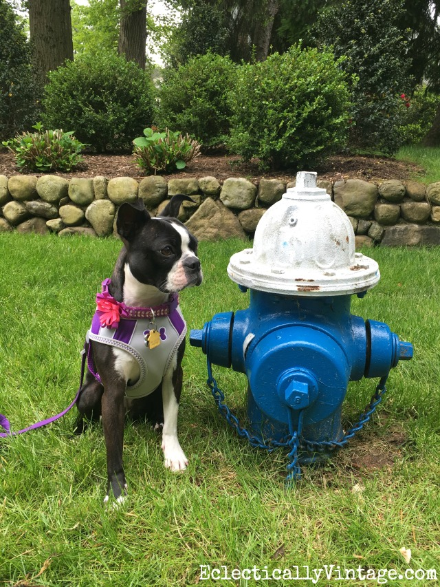 boston-terrier-fire-hydrant