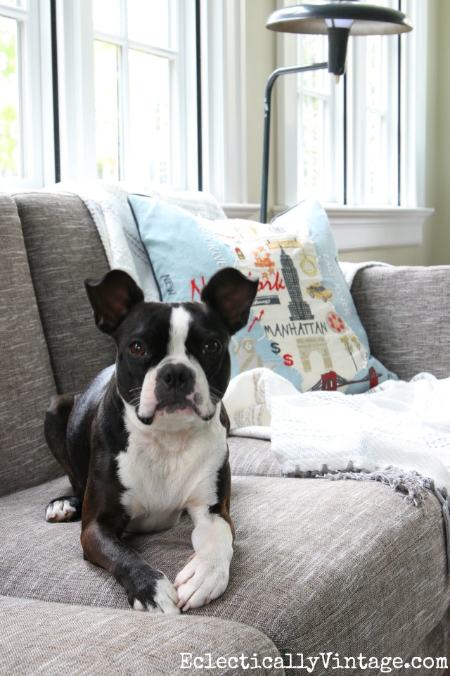 This Boston Terrier loves her cozy Article Ceni sofa! kellyelko.com