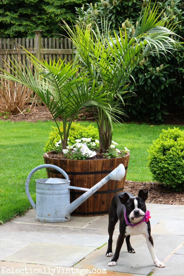 Huge barrel planter filled with palm trees create a beautiful separation between patio and lawn kellyelko.com