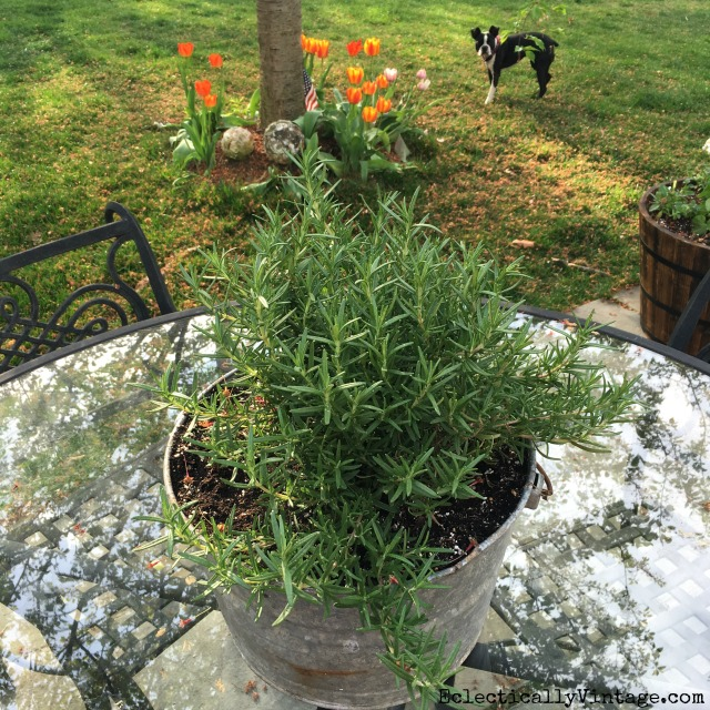 Plant a big pot of rosemary in a galvanized bucket for an easy outdoor centerpiece kellyelko.com
