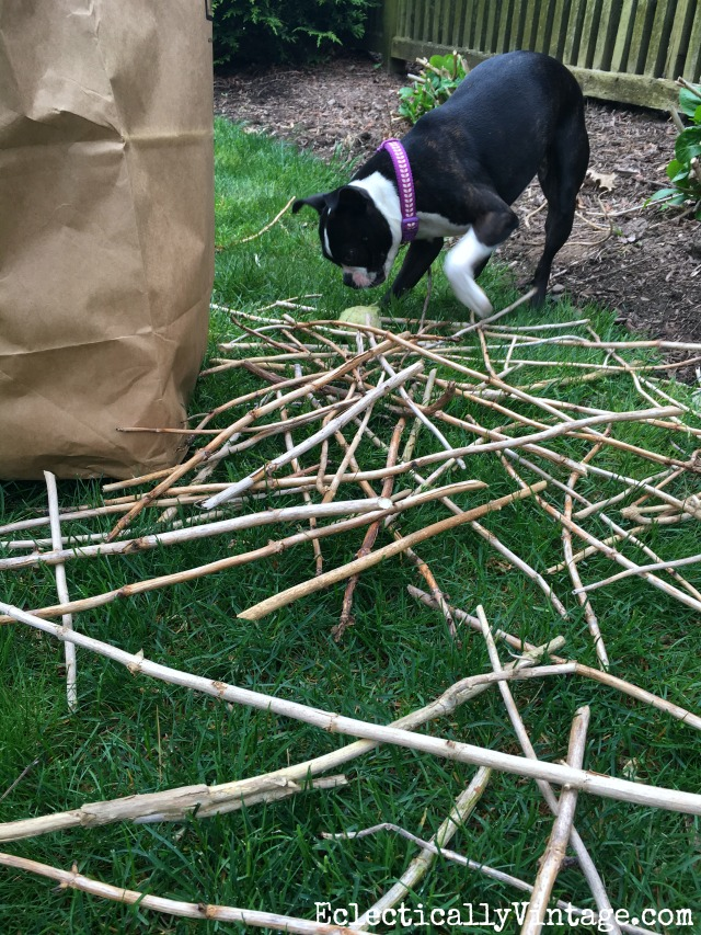 Boston Terrier with a pile of sticks! kellyelko.com