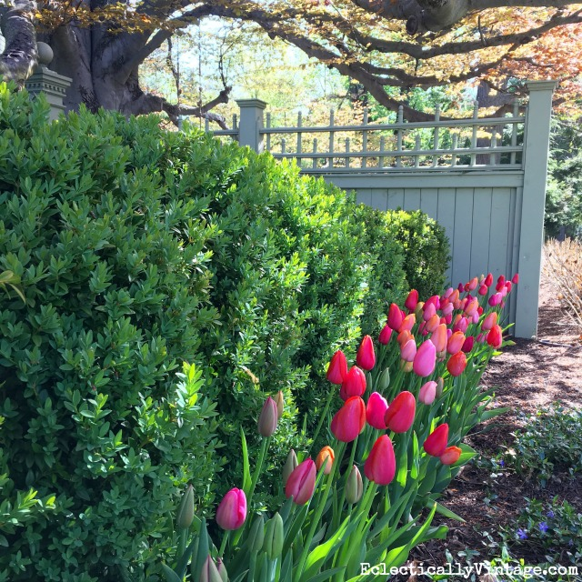 Love this gorgeous tulip border in front of a hedge of boxwood kellyelko.com