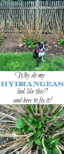 Why Aren't My Hydrangeas Blooming - and How to Fix Them! eclecticallyvintage.com