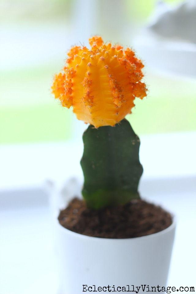 Yellow moon cactus - great tips for planting your own kellyelko.com
