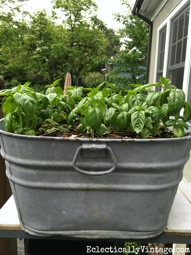 Galvanized container of basil kellyelko.com