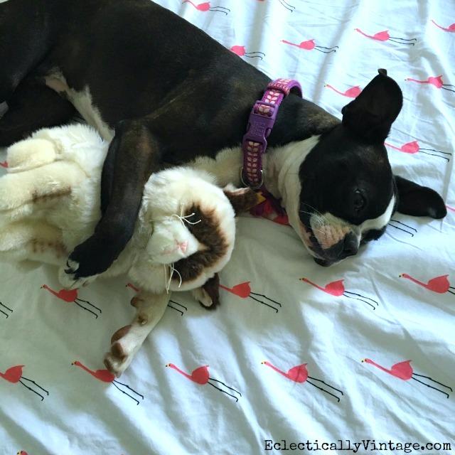 Boston Terrier and Grumpy Cat cuddles! kellyelko.com
